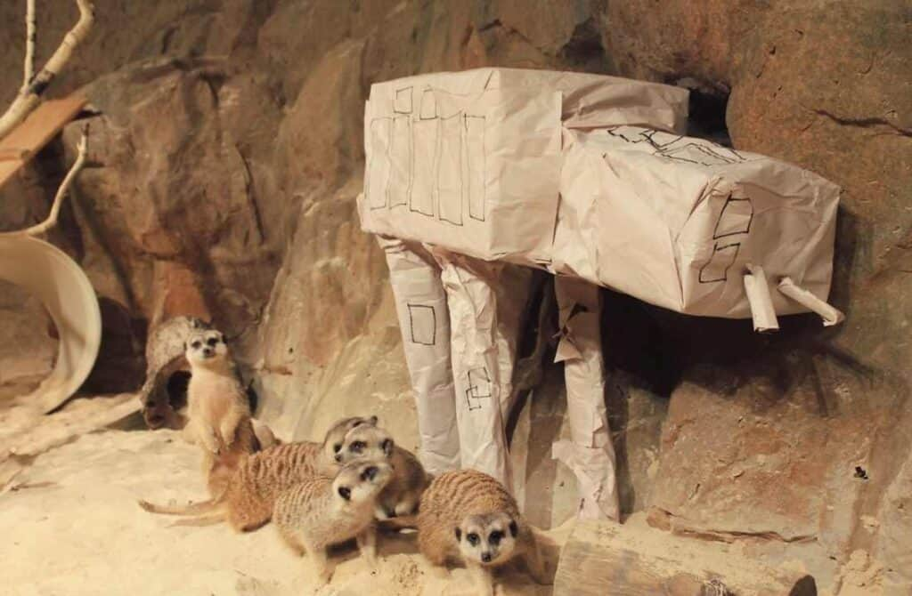 Meerkats with a toy AT-AT for May 4, Chattanooga Zoo