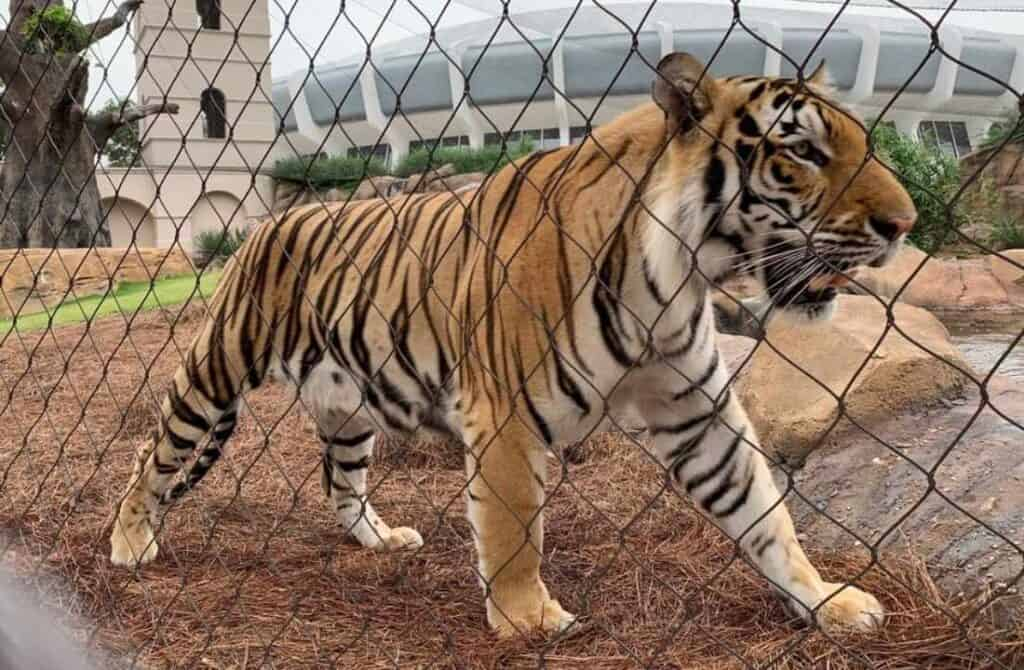 Mike the tiger at Mike the Tiger Habitat in Baton Rouge Louisiana